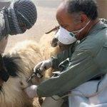 بیش از 853 هزار راس دام در ماکو واکسینه شدند