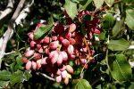 نخستین محصول پسته شمال آذربایجان غربی در پلدشت برداشت شد