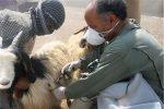 حدود ۴۹۰ هزار نوبت راس دام در ماکو واکسینه شدند