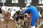 آغاز واکسیناسیون ۲۴۵ هزار راس دام سبک و سنگین در ماکو