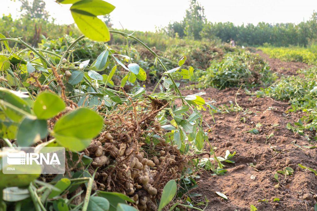 ۶۷تن بادام زمینی از اراضی پلدشت برداشت شد