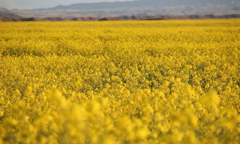 مزرعه های زیبای کلزا در پلدشت+ تصاویر